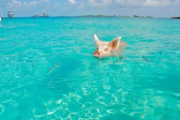 Maialini di Exuma, Bahamas